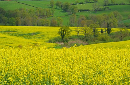 Rapeseed 21 Stock Photo - 4354060