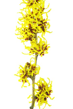 blossoming yellow flower tree: witchhazel
