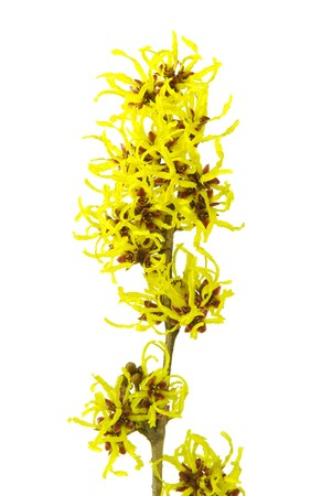 Hamamelis isolated photo