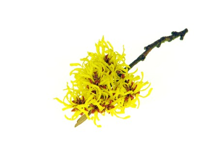 blossoming yellow flower tree: Hamamelis isolated
