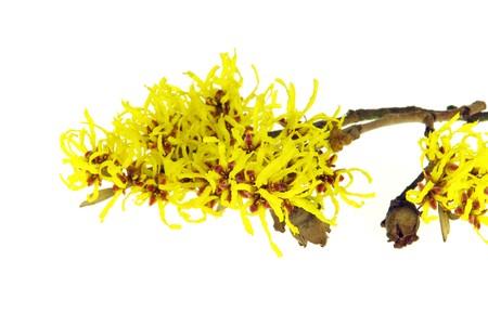hazel branches: Hamamelis isolated