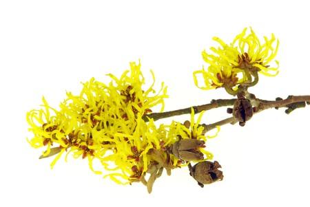 albero nocciola: Hamamelis isolati 11