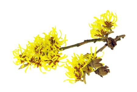 blossoming yellow flower tree: Hamamelis isolated