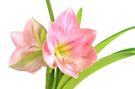 pflanze: Amaryllis 11