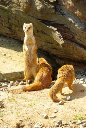 mongoose: Yellow Mongoose Stock Photo