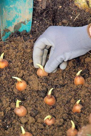 clod: bulb planting