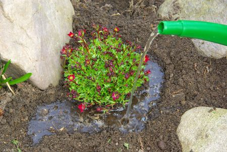 planting a saxifraga bryoides 08 Stock Photo - 4710368