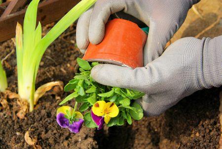 planting pansy 01 photo