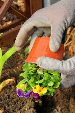 planting pansy Stock Photo