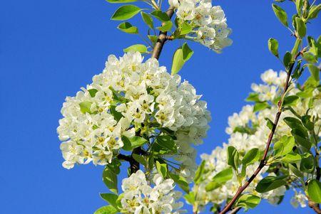 Birnbaumbl�te - flowering of pear tree 22 photo