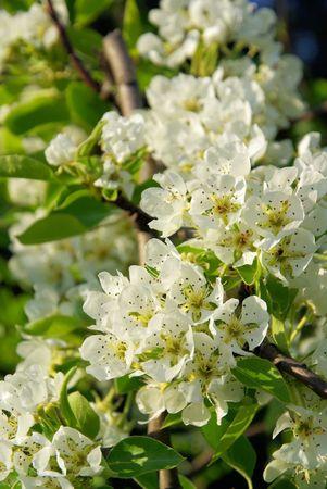 Birnbaumbl�te - flowering of pear tree 25 photo