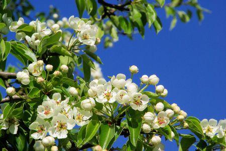 Birnbaumbl�te - flowering of pear tree 37 photo