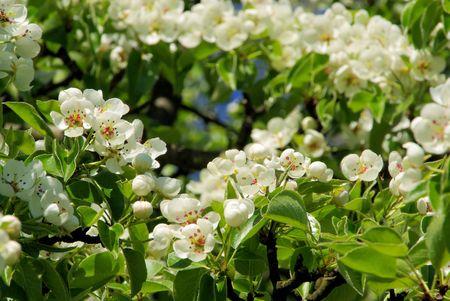 Birnbaumbl�te - flowering of pear tree 39 photo