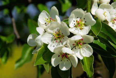 Birnbaumbl�te - flowering of pear tree 44 photo