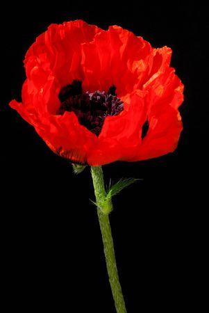 oriental poppy 24 photo