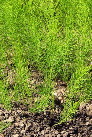 field horsetail 05 Stock Photo - 4924348