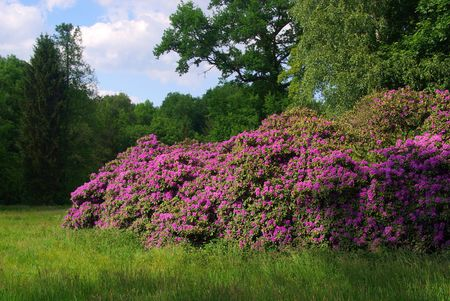 Rhododendron Stock Photo - 5287450