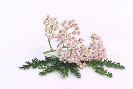 pflanze: Schafgarbe - Yarrow 01