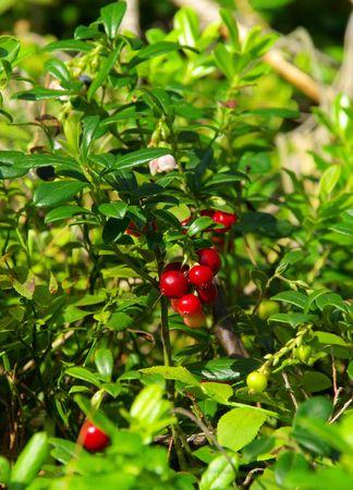 cowberry plant  photo