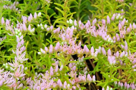 seastar: seastar flower