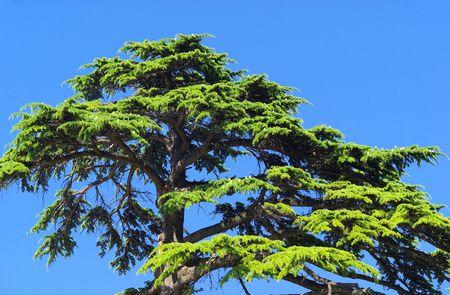 libani: cedar 12