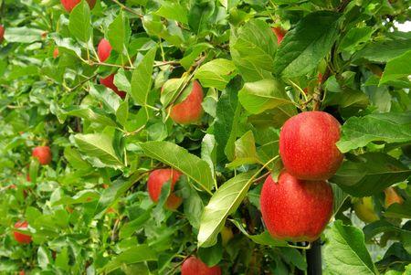 appel op boom