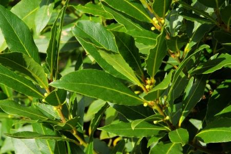 bay leaf: laurel  Stock Photo