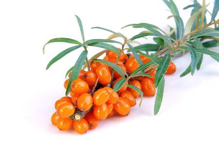 thorn bush: sallow thorn 28