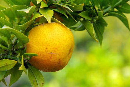 lemon on tree photo