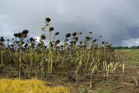 desiccated: sunflower field drought