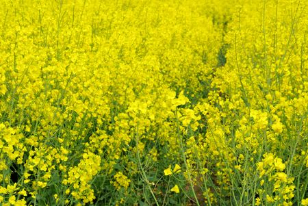 Rapeseed 24 Stock Photo - 5974294
