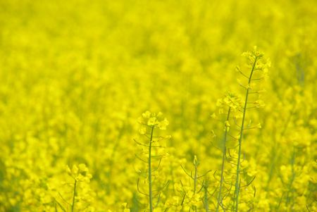 Rapeseed Stock Photo - 6004427