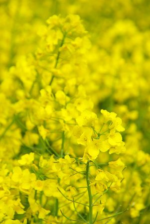 Rapeseed 27 Stock Photo - 5974218