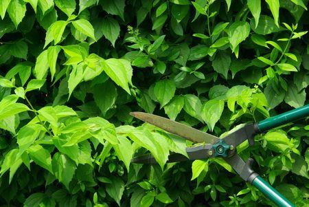 bush trimming: cut a hedge 07