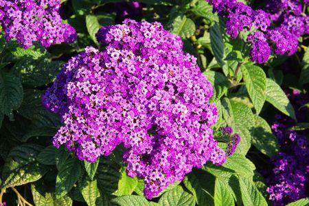 Garden Heliotrope 03