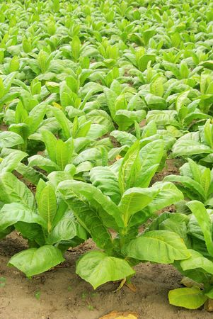 tobacco plants: cultivated Tobacco 30