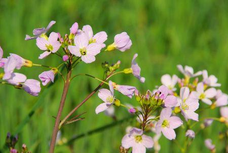 un coucou: Fleur labru 07