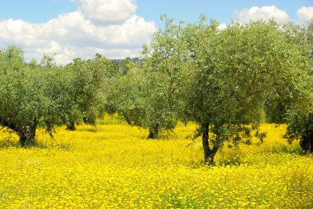meadow and olive tree