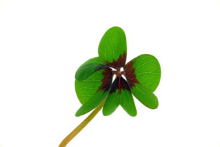 four leafed clover  Stock Photo - 7756132