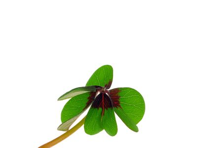four leafed clover Stock Photo - 7991137
