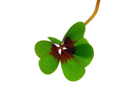 leafed: four leafed clover 31 Stock Photo
