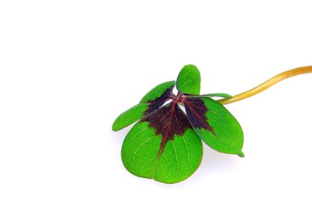 four leafed clover Stock Photo - 6741738