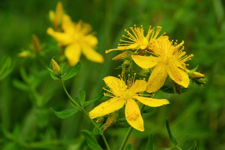 St Johns wort Stock Photo - 11170253