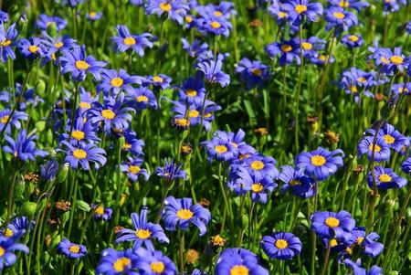 garden marguerite photo