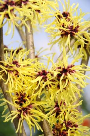 hazel branches: hamamelis