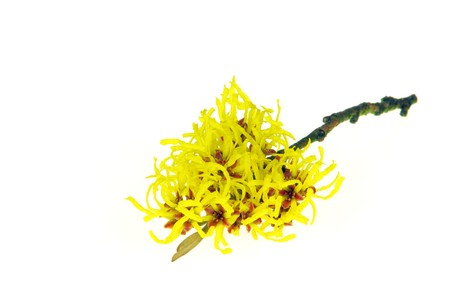 blossoming yellow flower tree: Hamamelis isolated 22