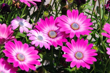 Osteospermum 01 Stock Photo