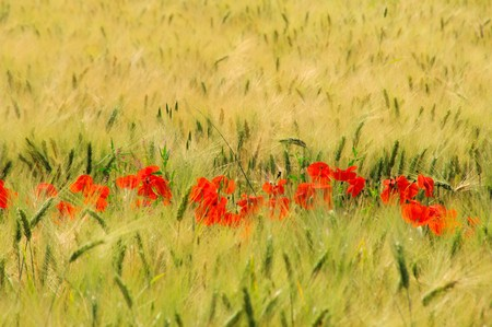 corn poppy in field 01 photo
