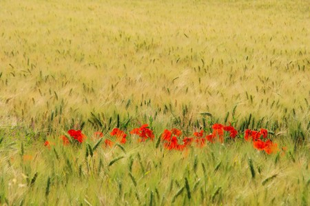 corn poppy in field 02 photo