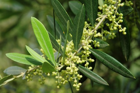 olive tree blossom photo